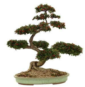 Potatura del Bonsai